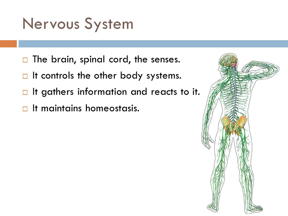 Nervous System The brain, spinal cord, the senses.