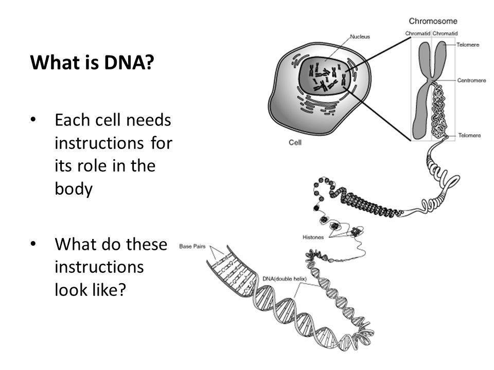 What is DNA Each cell needs instructions for its role in the body