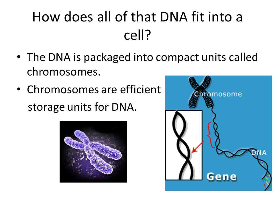 How does all of that DNA fit into a cell