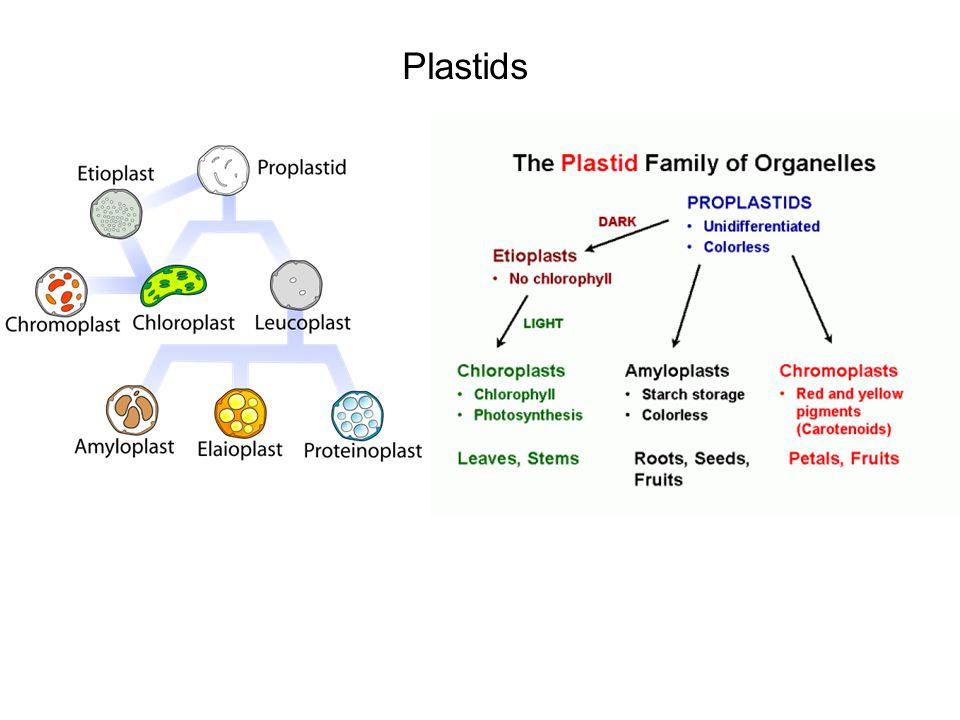 Plastids