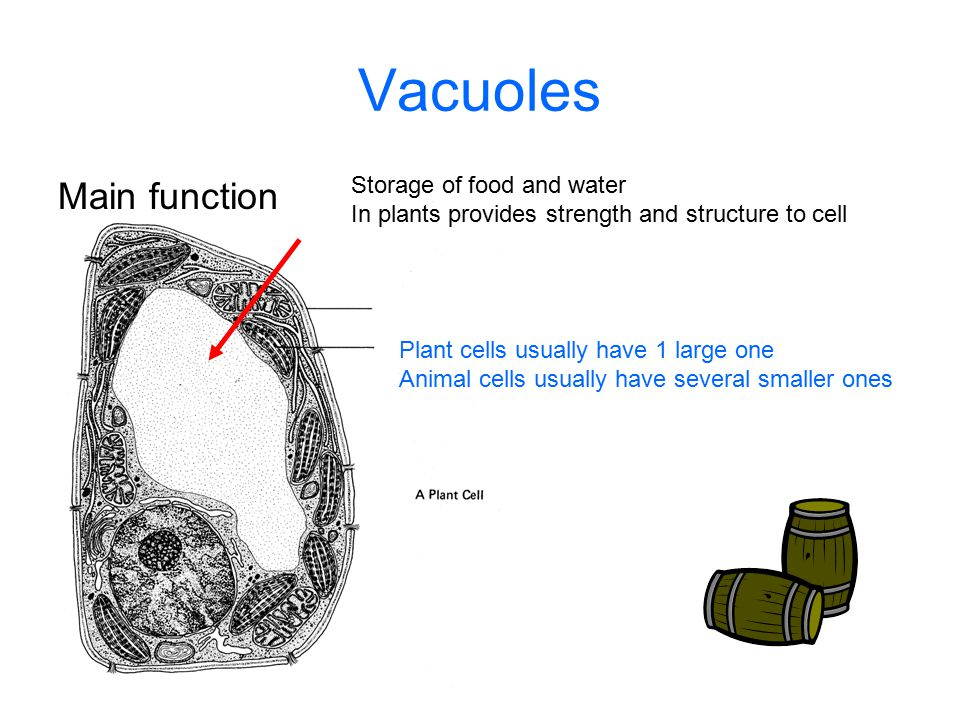 Vacuoles Main function Storage of food and water