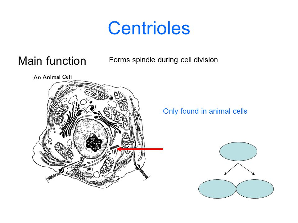 Centrioles Main function Forms spindle during cell division