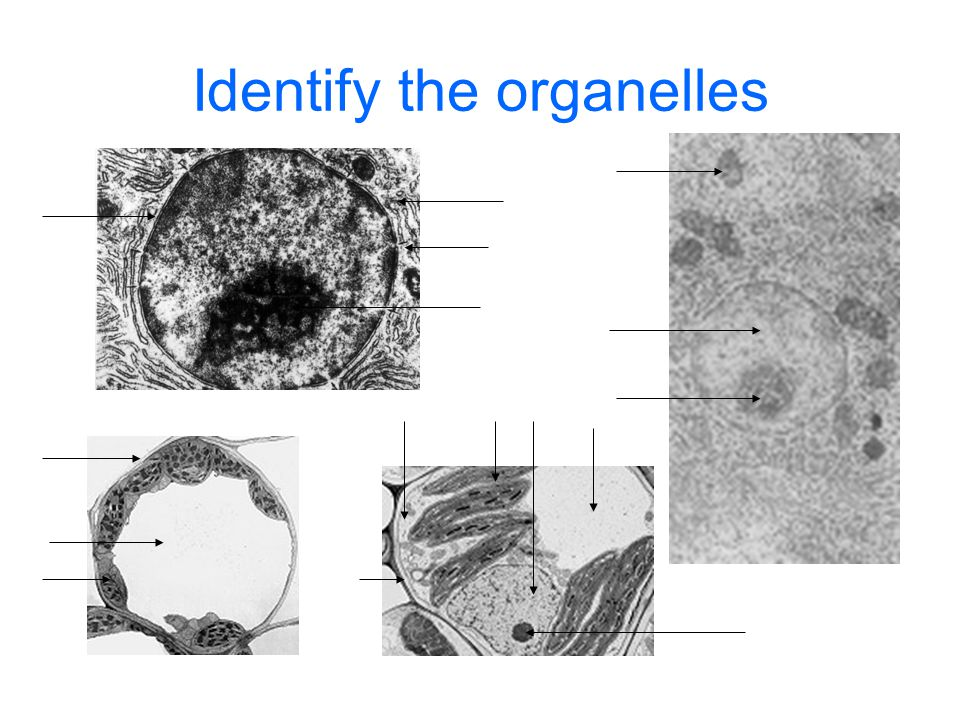 Identify the organelles