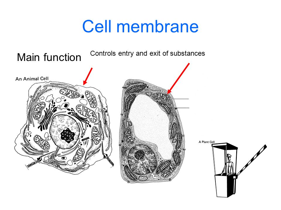 Cell membrane Main function Controls entry and exit of substances