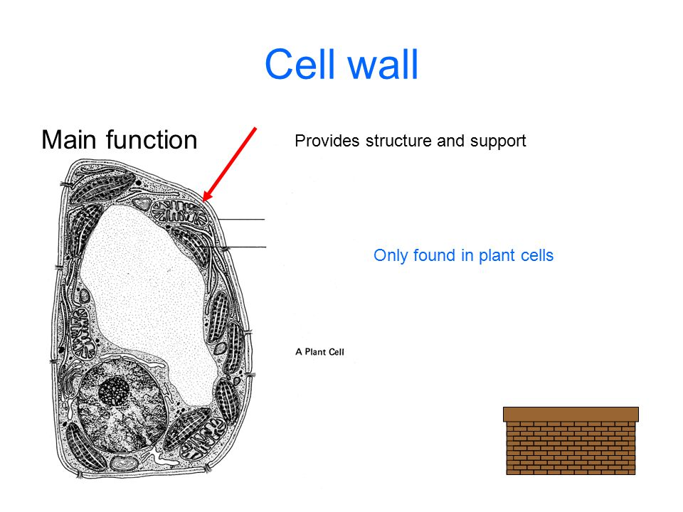 Cell wall Main function Provides structure and support