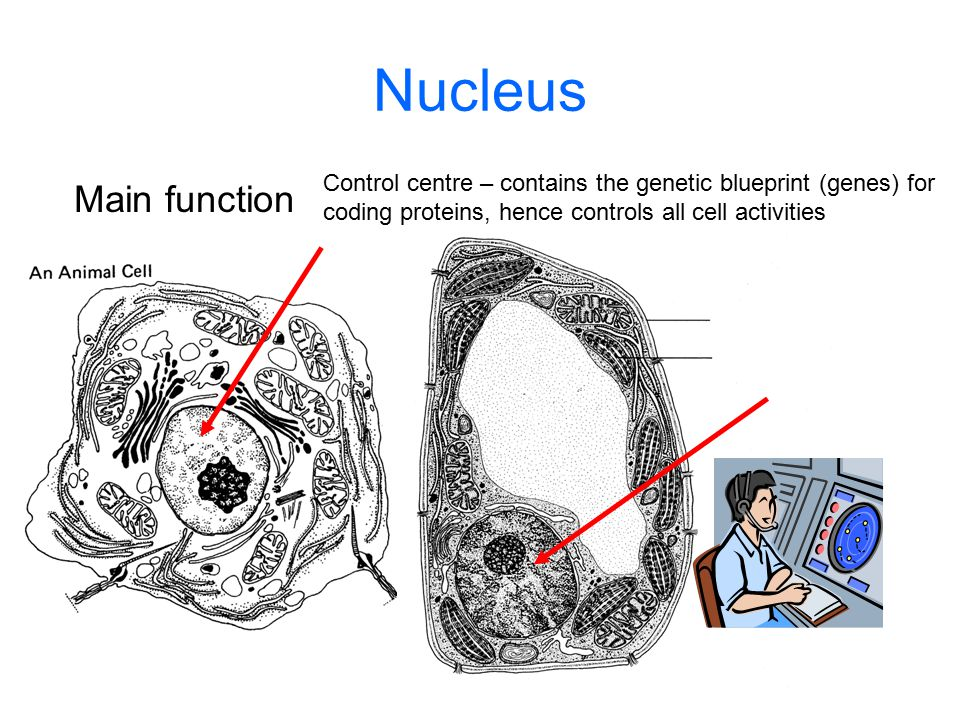 Nucleus Control centre – contains the genetic blueprint (genes) for. coding proteins, hence controls all cell activities.