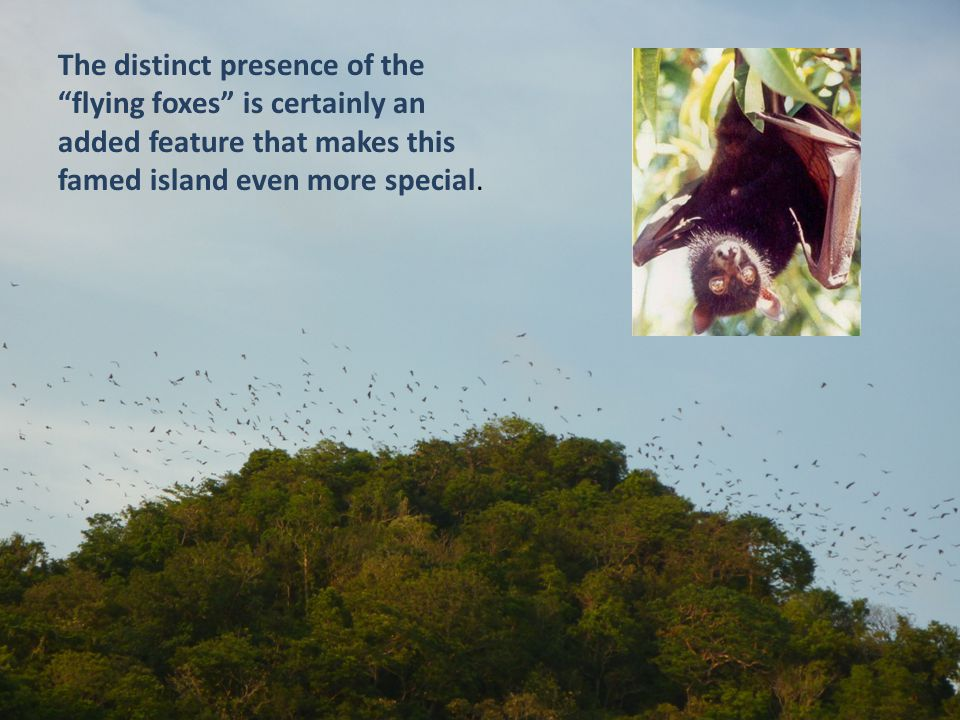 The distinct presence of the flying foxes is certainly an added feature that makes this famed island even more special.