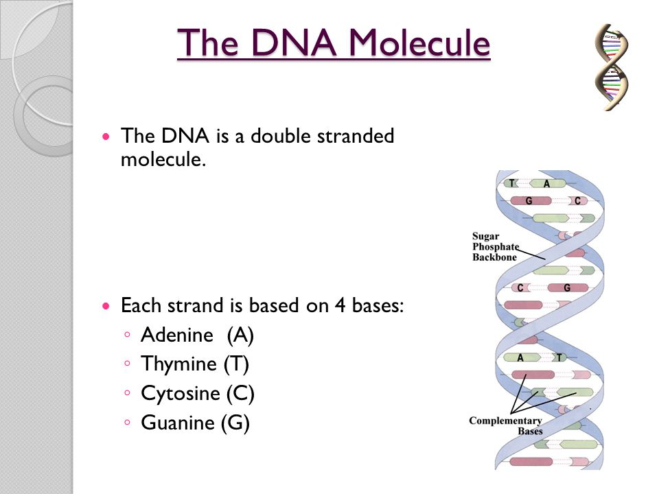 The DNA Molecule The DNA is a double stranded molecule.