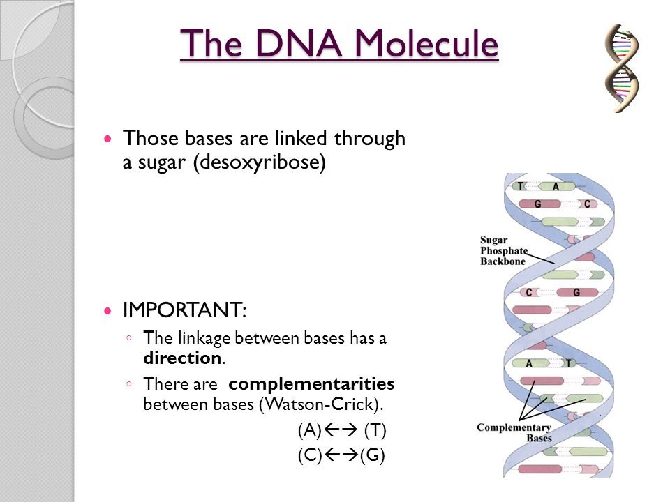 The DNA Molecule Those bases are linked through a sugar (desoxyribose)