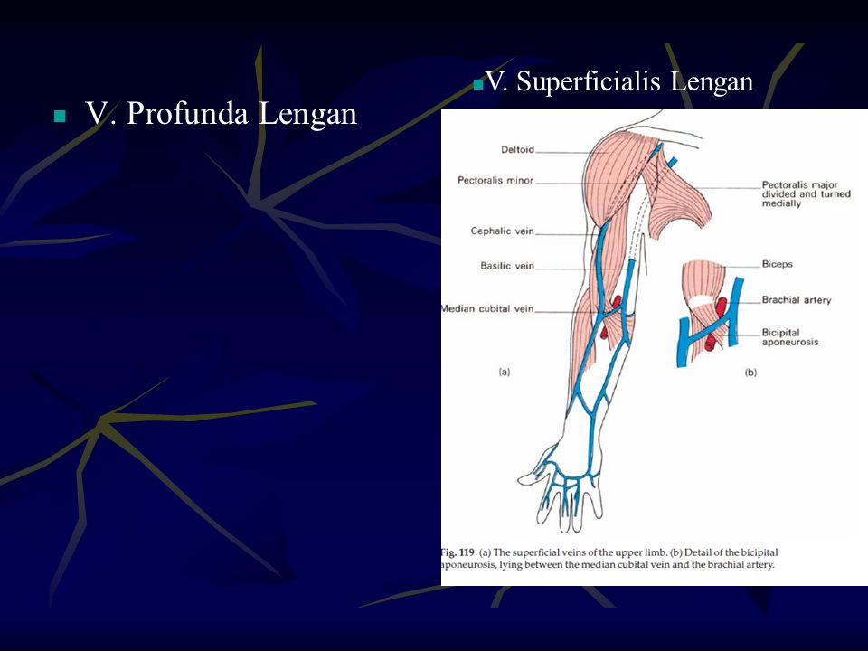 V. Superficialis Lengan