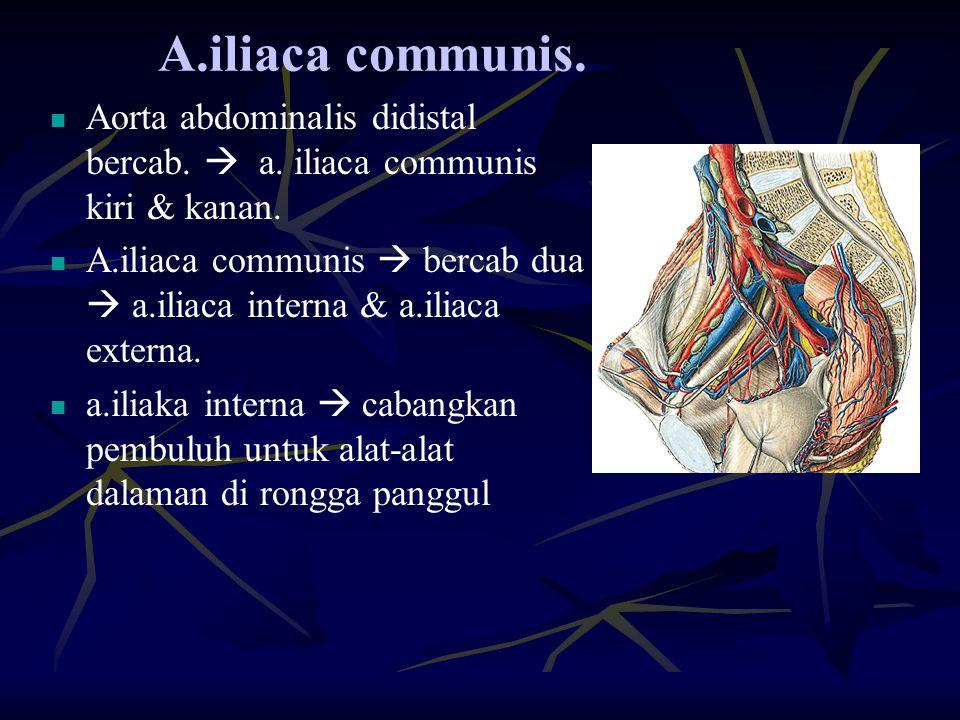 A.iliaca communis. Aorta abdominalis didistal bercab.  a. iliaca communis kiri & kanan.
