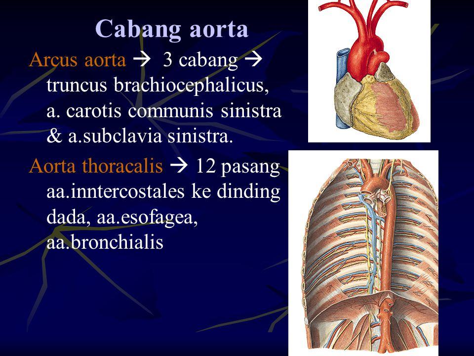 Cabang aorta Arcus aorta  3 cabang  truncus brachiocephalicus, a. carotis communis sinistra & a.subclavia sinistra.