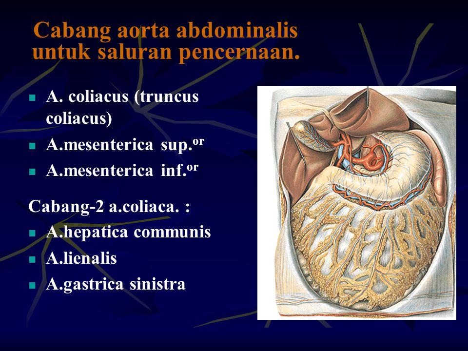 Cabang aorta abdominalis untuk saluran pencernaan.