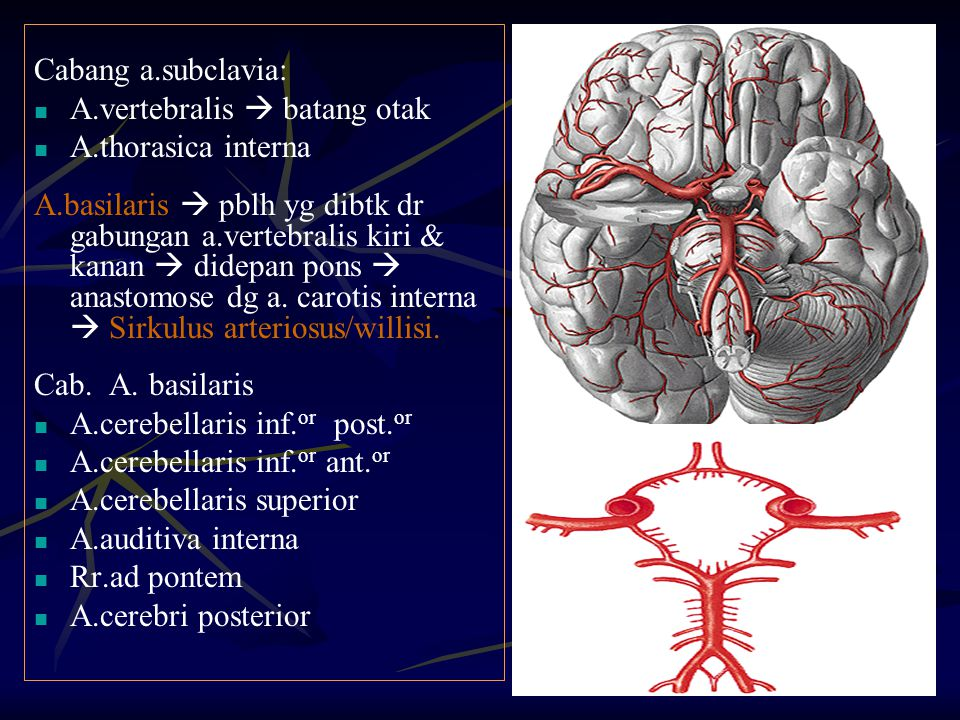 Cabang a.subclavia: A.vertebralis  batang otak. A.thorasica interna.