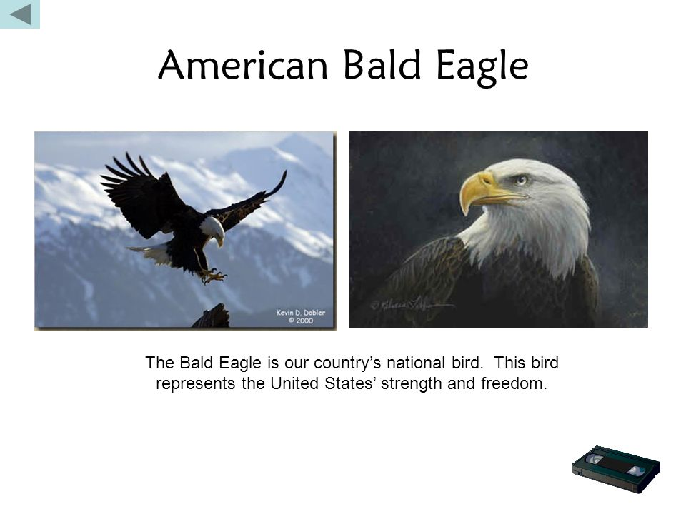 American Bald Eagle The Bald Eagle is our country's national bird.