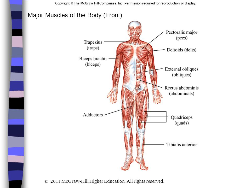 Major Muscles of the Body (Front)