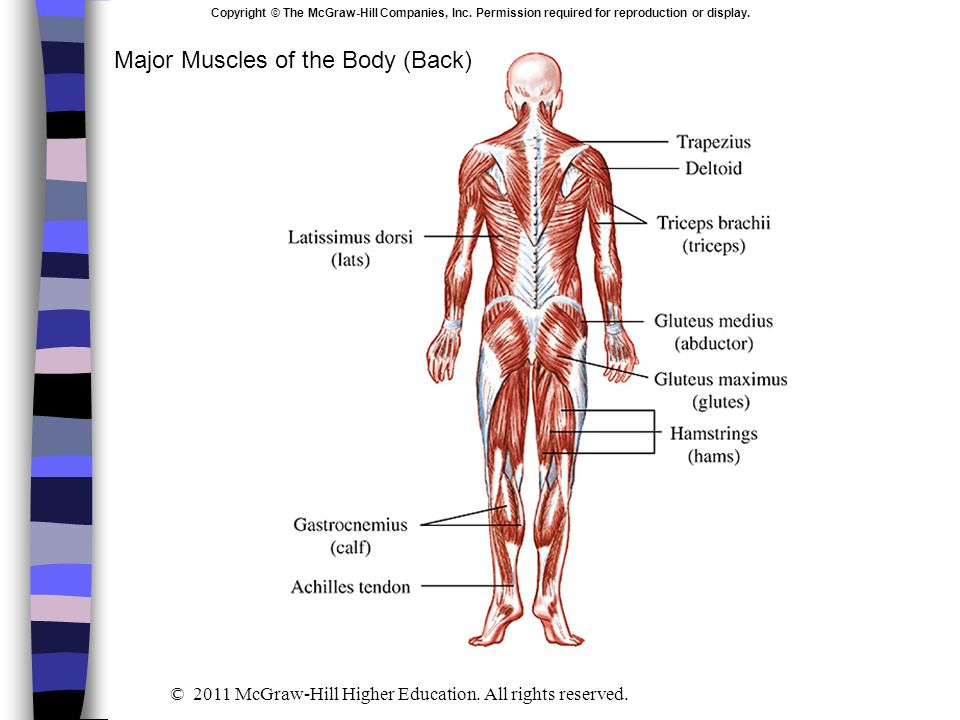 Major Muscles of the Body (Back)