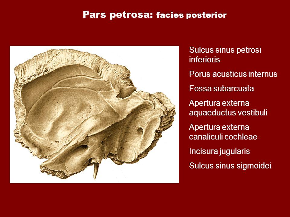 Pars petrosa: facies posterior