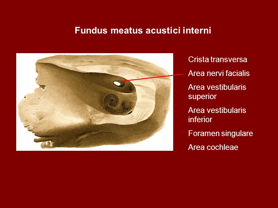 Fundus meatus acustici interni