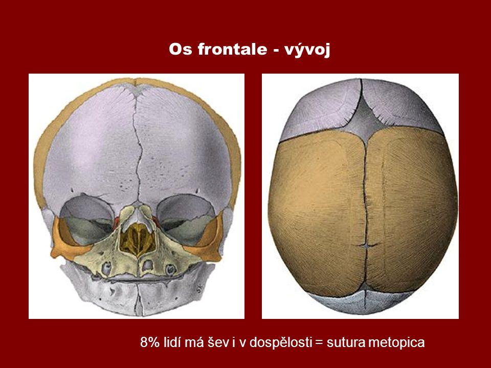 Os frontale - vývoj 8% lidí má šev i v dospělosti = sutura metopica