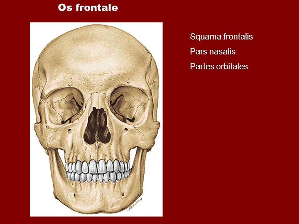 Os frontale Squama frontalis Pars nasalis Partes orbitales