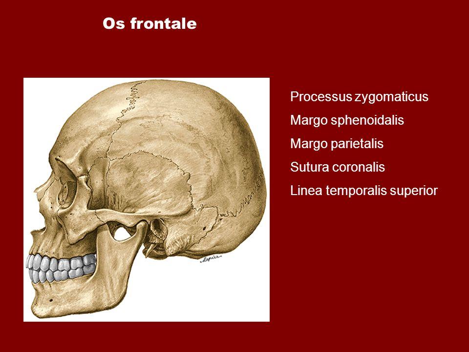 Os frontale Processus zygomaticus Margo sphenoidalis Margo parietalis