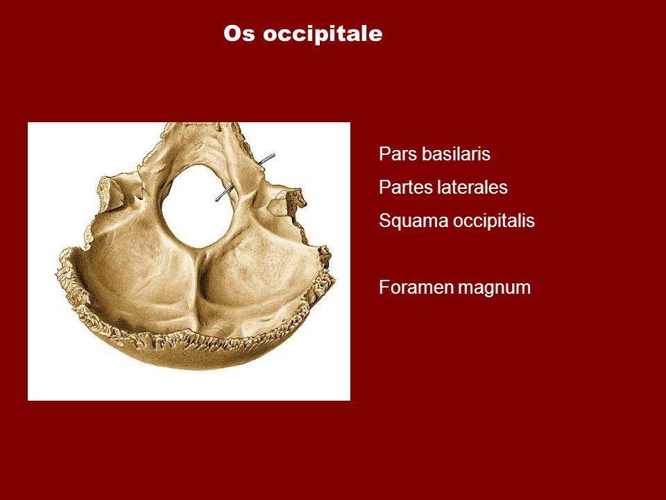 Os occipitale Pars basilaris Partes laterales Squama occipitalis