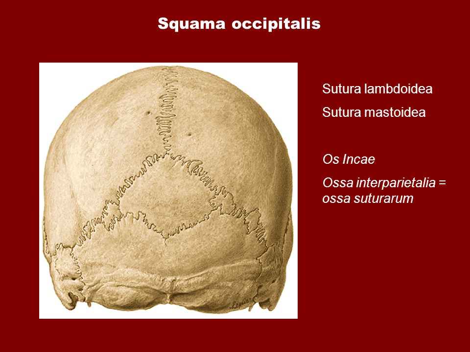 Squama occipitalis Sutura lambdoidea Sutura mastoidea Os Incae