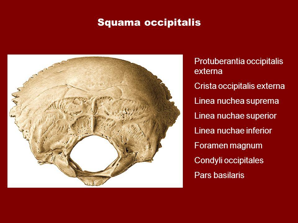 Squama occipitalis Protuberantia occipitalis externa