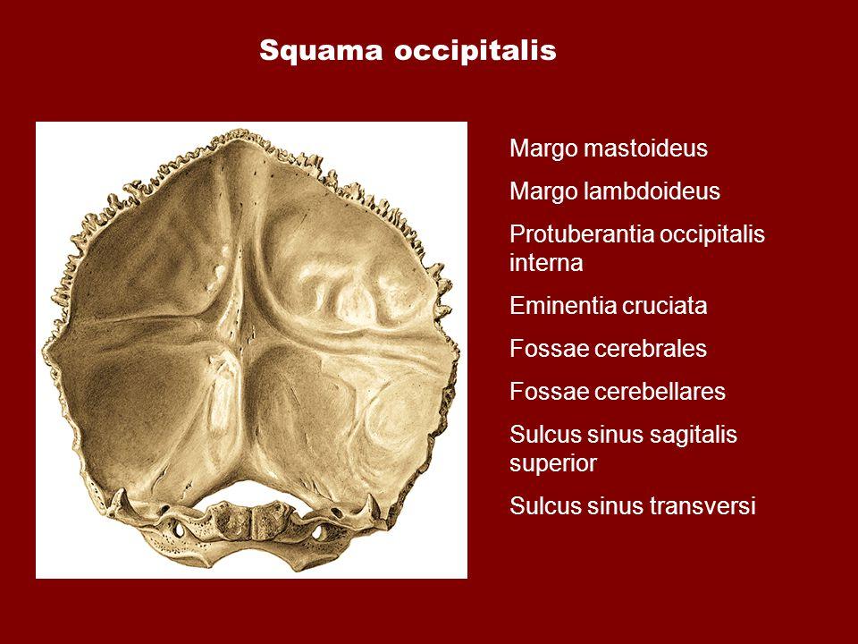 Squama occipitalis Margo mastoideus Margo lambdoideus