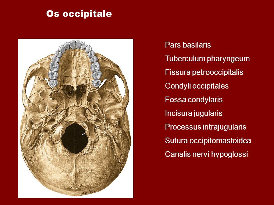 Os occipitale Pars basilaris Tuberculum pharyngeum