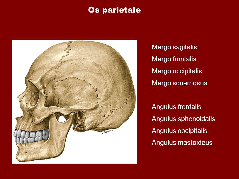Os parietale Margo sagitalis Margo frontalis Margo occipitalis