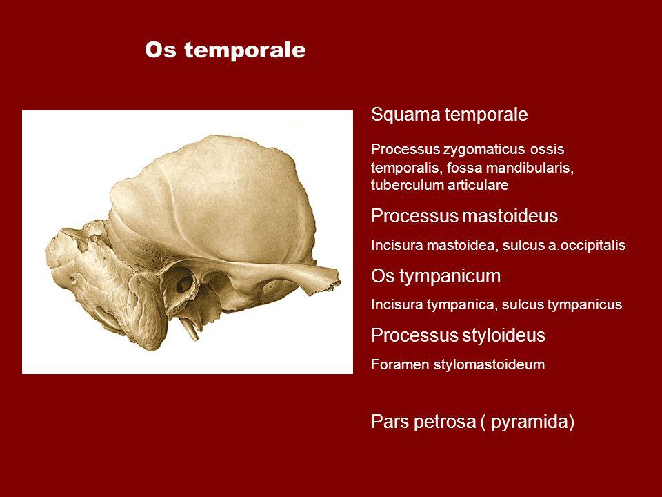 Os temporale Squama temporale Processus mastoideus Os tympanicum