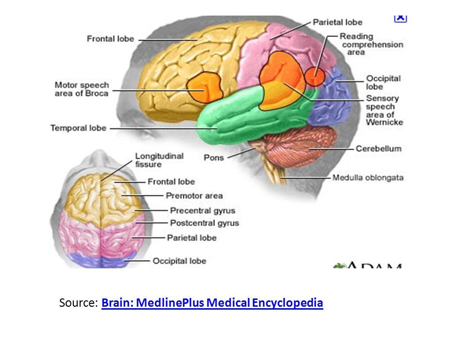 Source: Brain: MedlinePlus Medical Encyclopedia