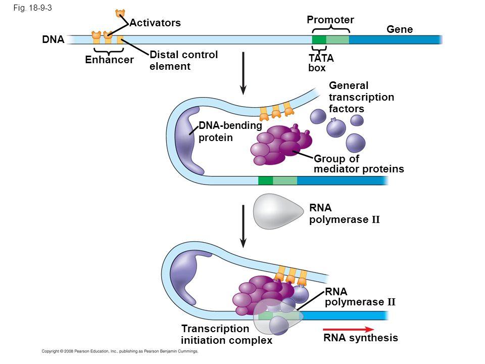 Promoter Activators Gene DNA Enhancer