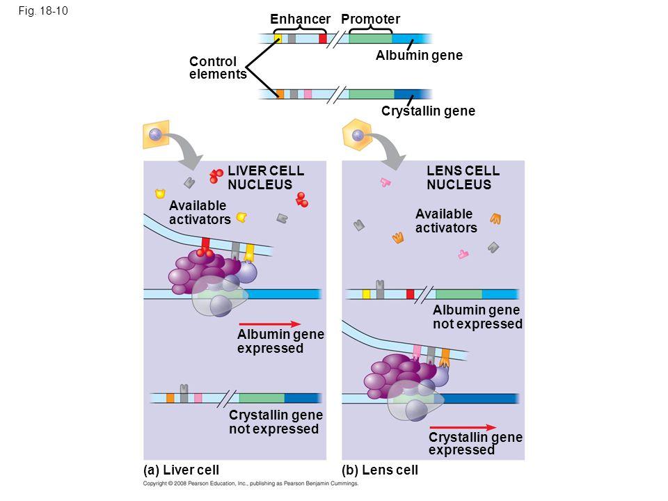 Enhancer Promoter Albumin gene Control elements Crystallin gene
