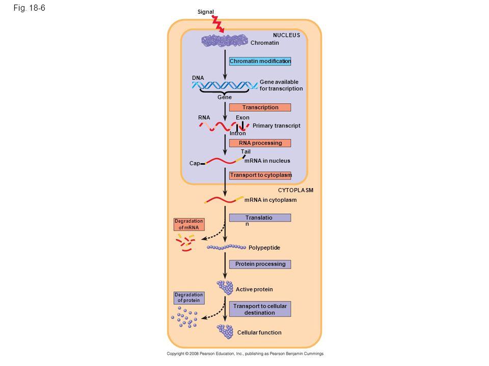 Fig. 18-6 Signal. NUCLEUS. Chromatin. Chromatin modification. DNA. Gene available. for transcription.