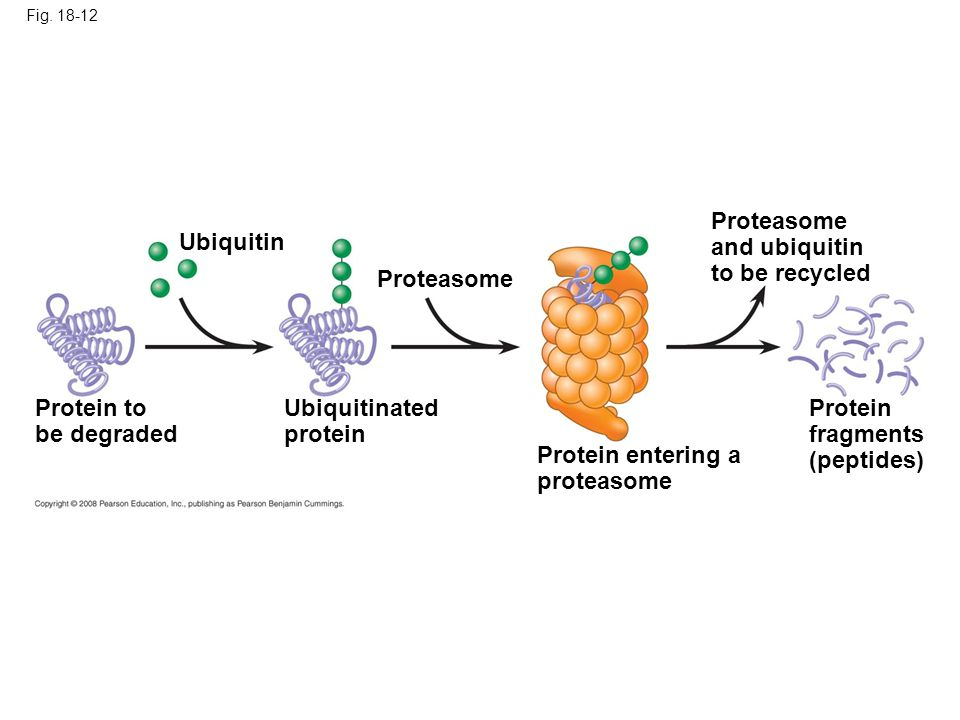 Proteasome and ubiquitin to be recycled Ubiquitin Proteasome