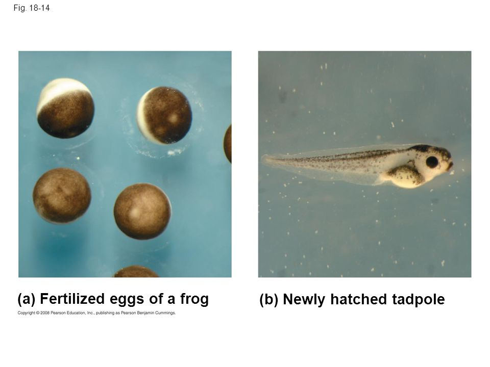 (a) Fertilized eggs of a frog (b) Newly hatched tadpole