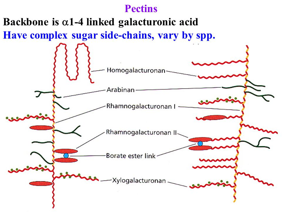 Pectins Backbone is 1-4 linked galacturonic acid Have complex sugar side-chains, vary by spp.