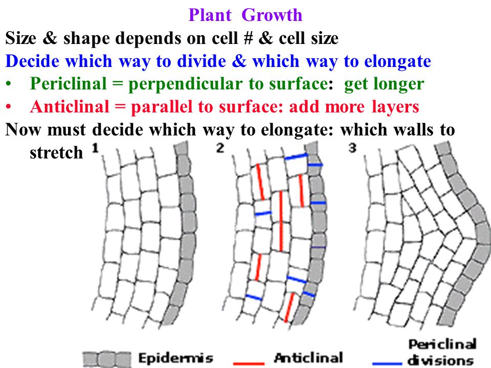 Plant Growth Size & shape depends on cell # & cell size. Decide which way to divide & which way to elongate.