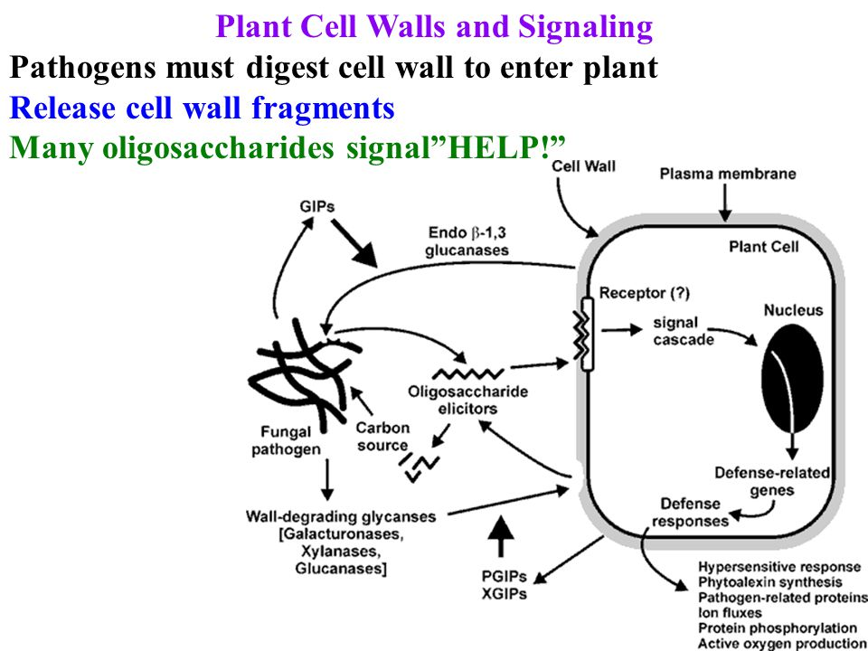 Plant Cell Walls and Signaling