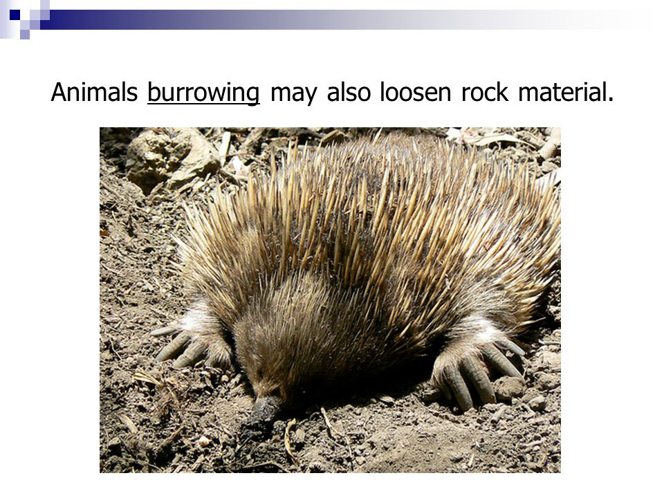 Animals burrowing may also loosen rock material.