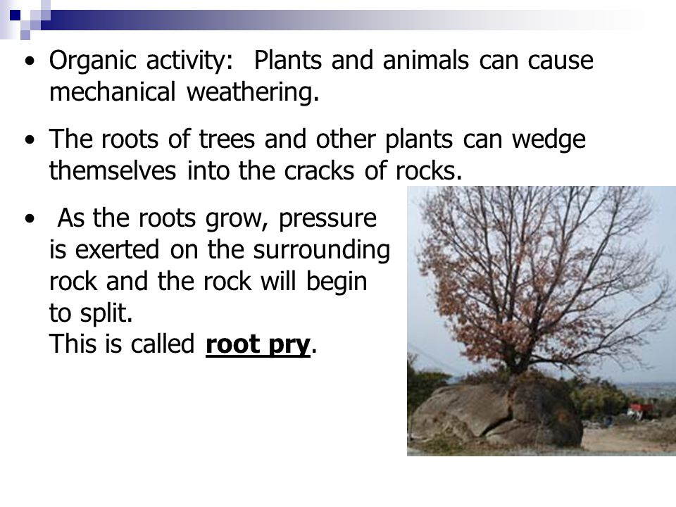 Organic activity: Plants and animals can cause mechanical weathering.