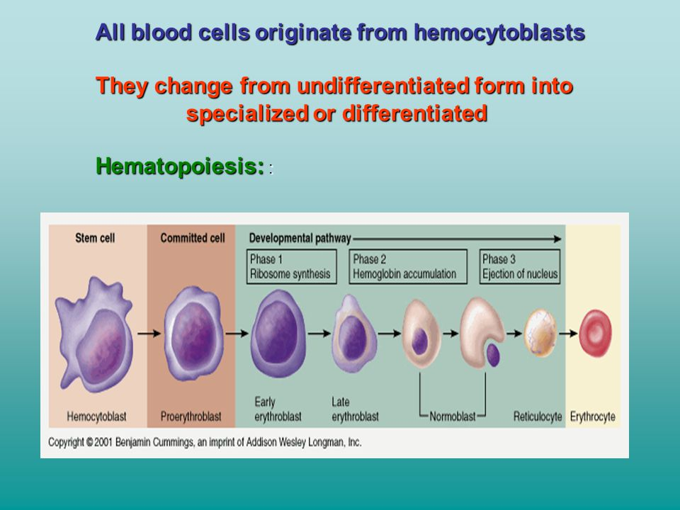 All blood cells originate from hemocytoblasts