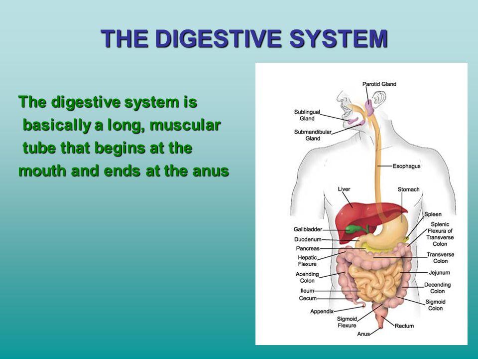 THE DIGESTIVE SYSTEM The digestive system is
