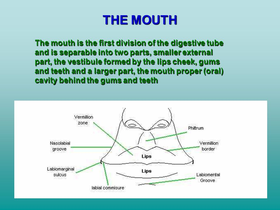THE MOUTH The mouth is the first division of the digestive tube