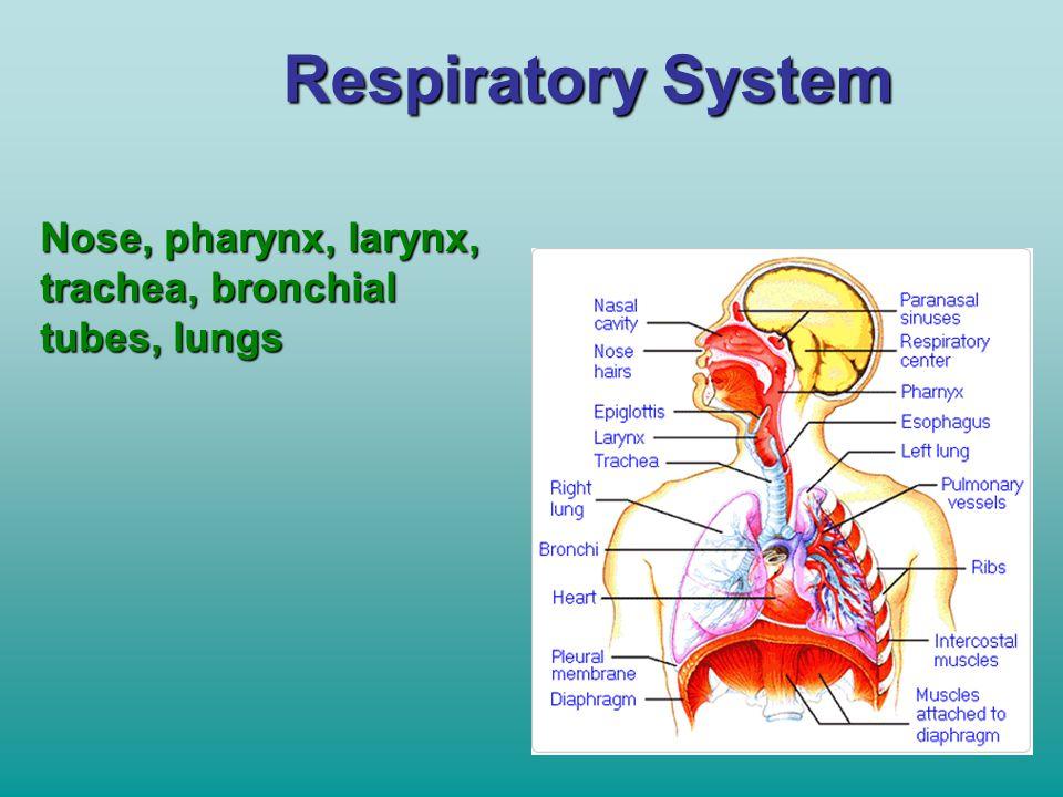 Respiratory System Nose, pharynx, larynx, trachea, bronchial