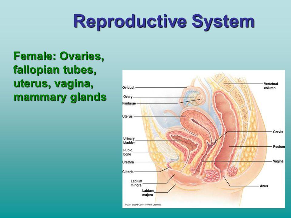 Reproductive System Female: Ovaries, fallopian tubes, uterus, vagina,