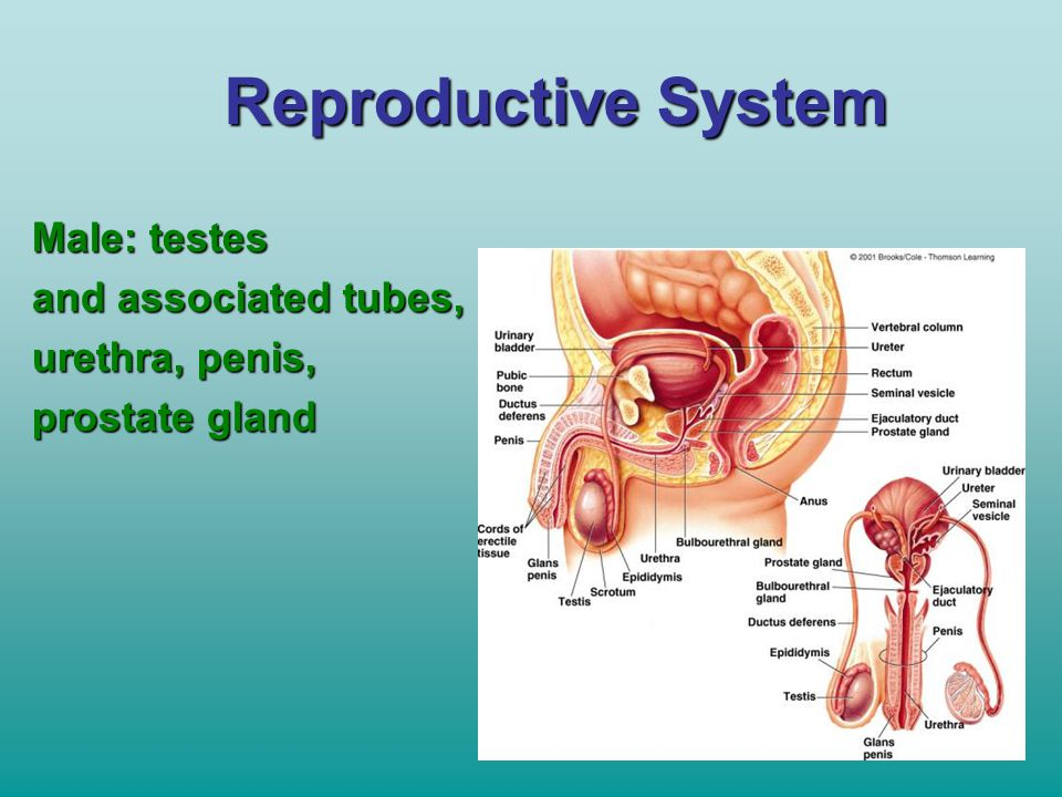 Reproductive System Male: testes and associated tubes, urethra, penis,